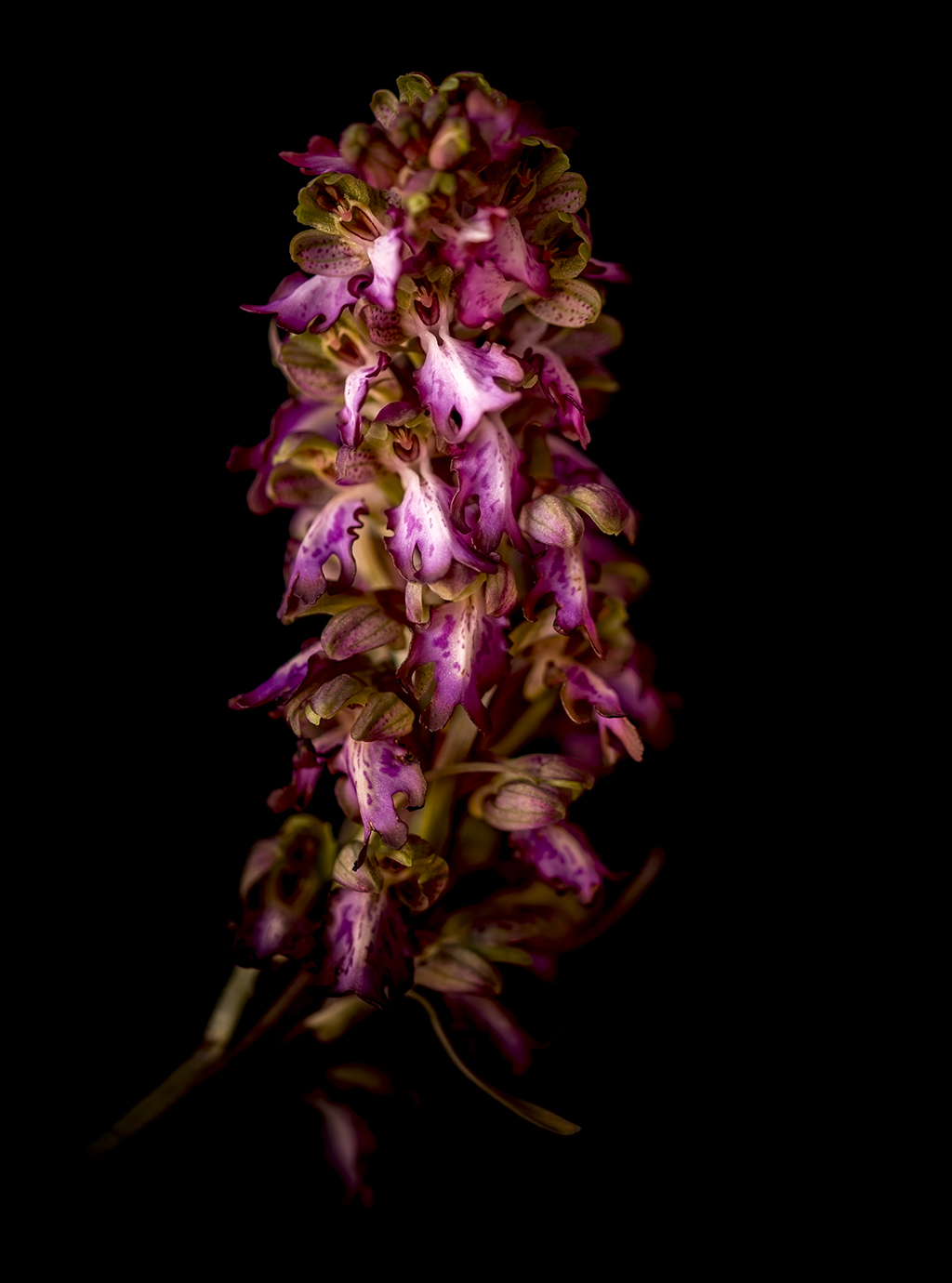La prima orchidea dell'anno